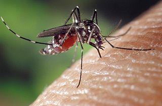Aedes_albopictus_on_human_skin