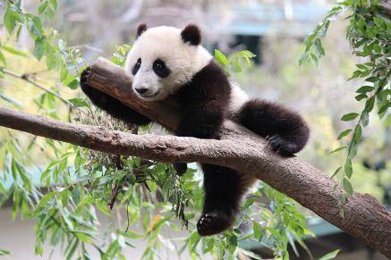 Xiao_Liwu_San_Diego_Zoo