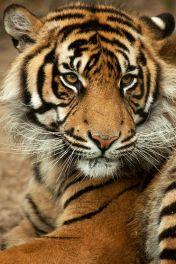 Panthera-tigris-sumatrae